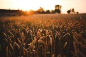 De 9 essentielle aminosyrer og fuldkorns hvedemel